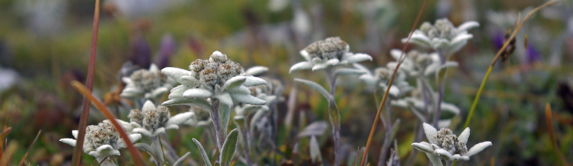 Květinový symbol alp – protěž